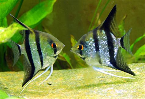 Our Angelfish have Spawned!!!!! - What's That Bug?