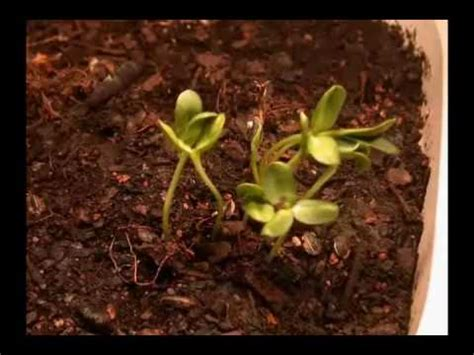 Sunflower Time Lapse - YouTube